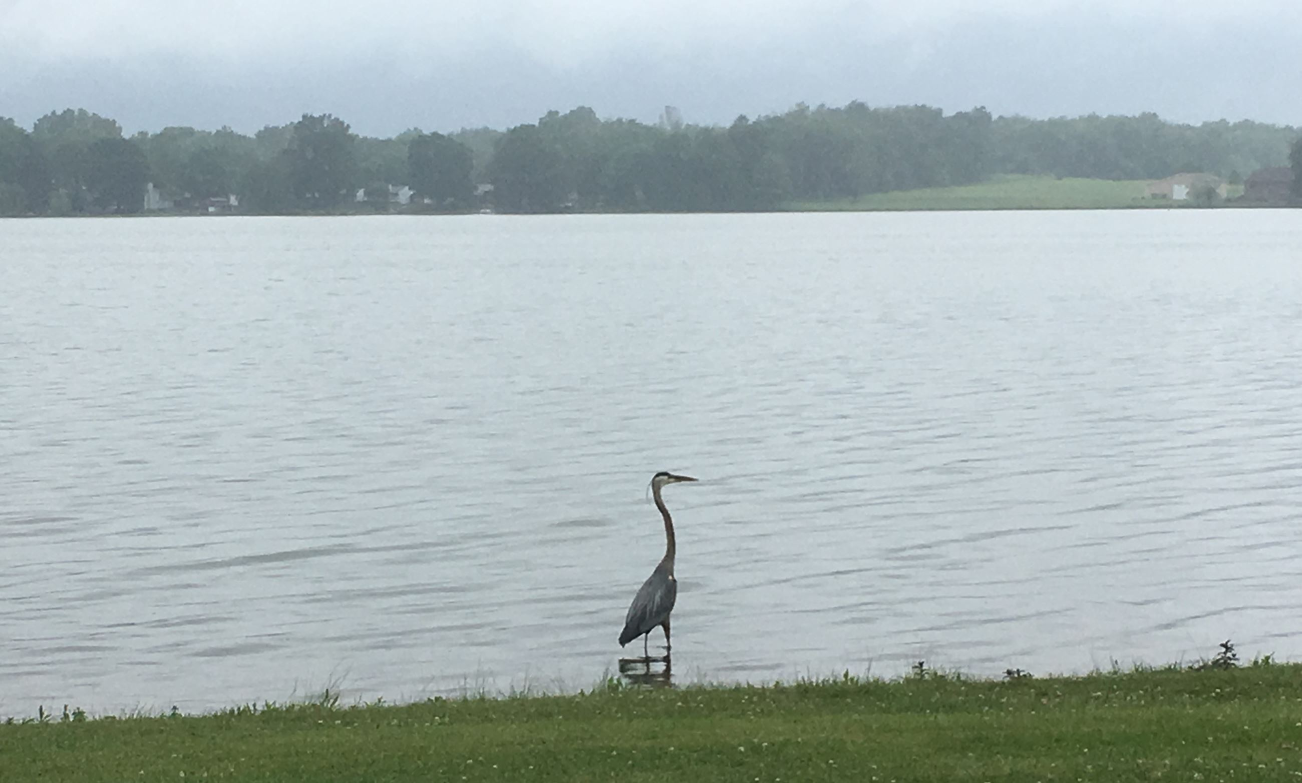 Blue Heron on Springfield Lake